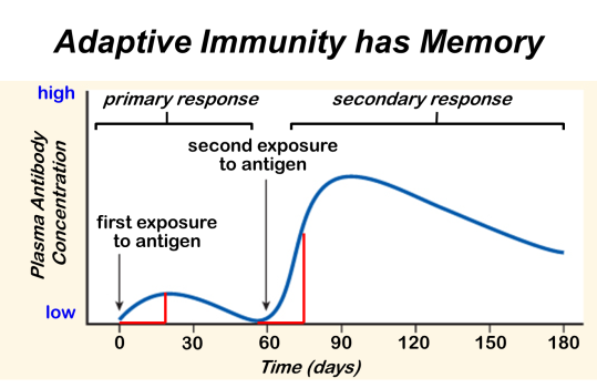 This graph shows how antibody concentration in the blood changes in the primary and secondary immune response.