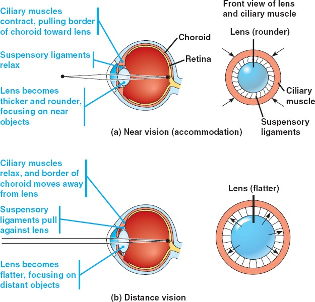 Ciliary muscle pmg biology one way you can improve your understanding is to be really precise with your use of language the ciliary muscle is a muscle no honestly it is and as you ccuart Gallery