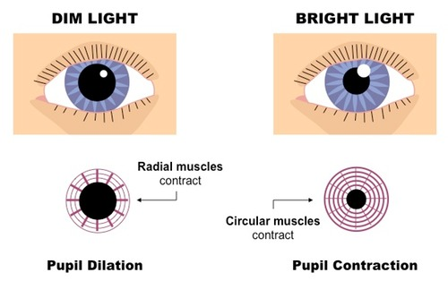 eye | PMG Biology