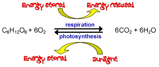 Respiration pmg biology image ccuart Image collections