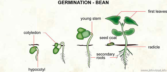 Germination A Understanding For Biology Gcse 35 36 Pmg Biology