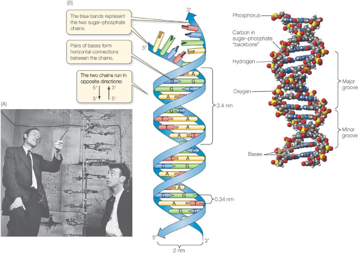 DNA structure and function – iGCSE A* understanding 3.13 3.14 3.15 ...