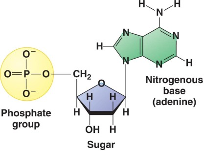 three parts of nucleotide