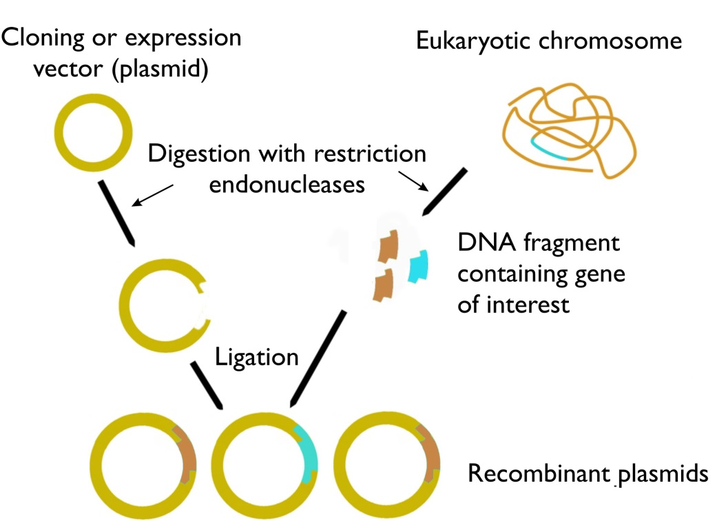 technology of recombinant dna 2144 recombination in yeast and the recombinant dna technology thomas  d petes department of biology, university of north carolina, chapel hill, nc.