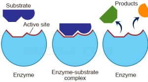 enzyme-working-mechanism