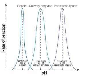 Enzyme_pH