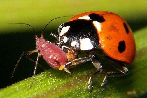 Biological Control of Pests Biological Control of Pests