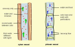 Xylem-and-Phloem