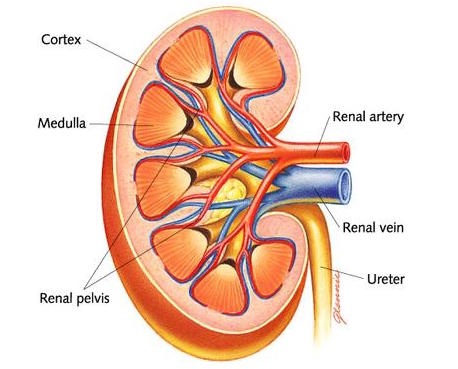 Kidney part i a understanding of kidneys role in excretion 269 you can see the structure of the kidney on this simple diagram there are three regions visible in a kidney an outer cortex an inner medulla which is ccuart Choice Image