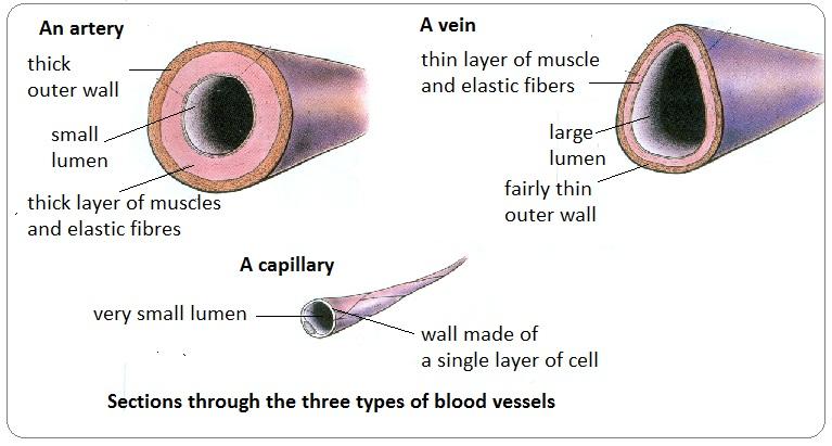 265 Blood Vessels A Understanding For Igcse Biology Pmg Biology