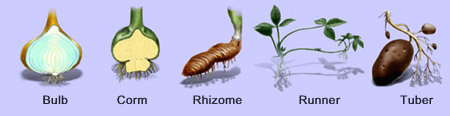 Asexual reproduction in plants is called what