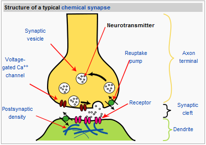 285 nerve cells and synapses a understanding for igcse biology synapse chemical synapse ccuart Image collections