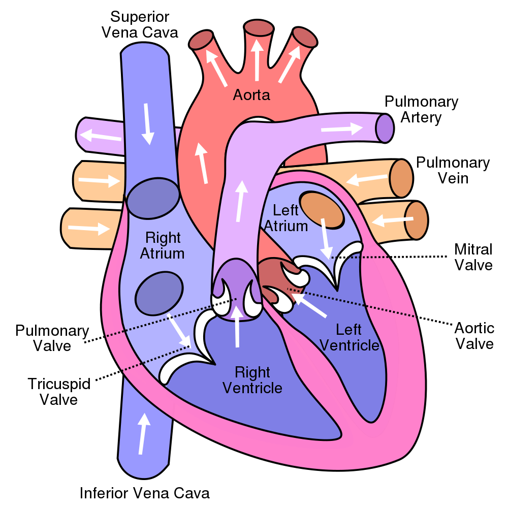 Cardiac Cycle And The Human Heart A Understanding For Igcse Simple Plant Cell Diagram Labeled Kids