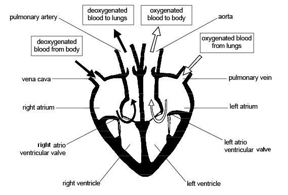 Cardiac cycle and the human heart a understanding for igcse heartdiagramcorrectedlabels ccuart Choice Image