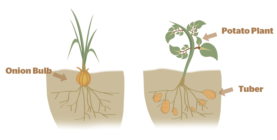 Plants that reproduce asexually list