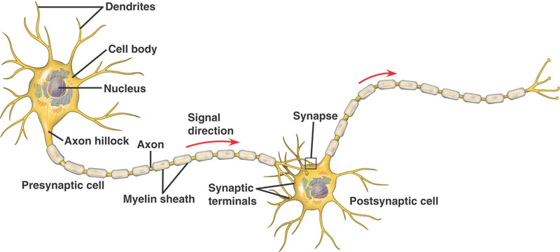 285 Nerve Cells And Synapses A Understanding For Igcse Biology
