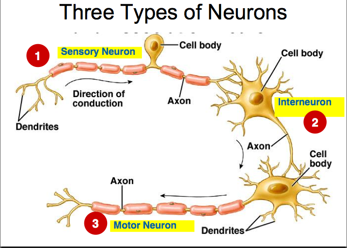 Nerve Cells and Synapses: Grade 9 Understanding for IGCSE ...