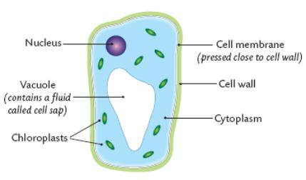 Cell membrane pmg biology this organelle is bounded by a membrane called the tonoplast and in many plant cells takes up the majority of the volume of the cell ccuart Choice Image
