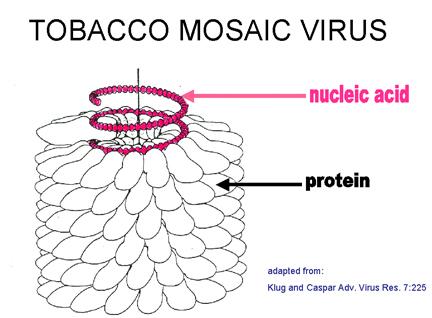 Viruses A Understanding For Igcse Biology 12 13 Pmg Biology