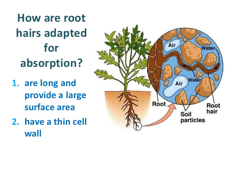 Osmosis in Plant Roots Roots Absorb Water by Osmosis
