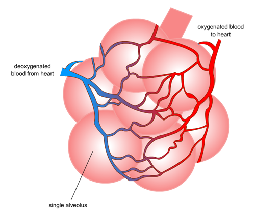 246 alveoli and gas exchange a understanding for igcse biology 42 ccuart Choice Image