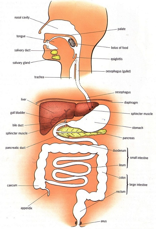 Large intestine pmg biology 5952763orig ccuart Images