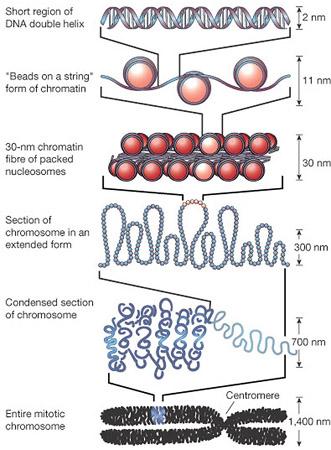 chromatin