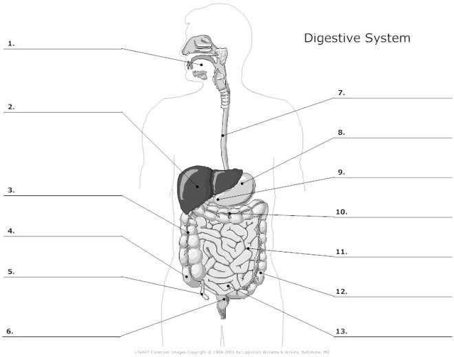 digestive_system_unlabeled_l