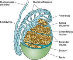 38 male reproductive systems a understanding for igcse biology ftdncmfmbwuuzelsdxjvcam 02ctestis ccuart Image collections