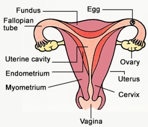 labeled-female-reproductive-system-diagram