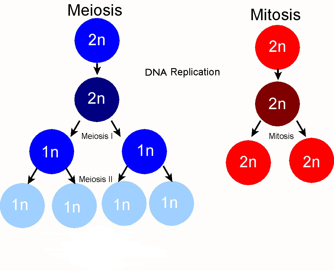 Cell division part 3 a understanding of meiosis for igcse 325 meiosismitosis pooptronica Images