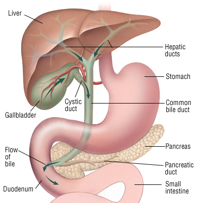 Bile a understanding for igcse biology 230 pmg biology and as shown in the diagram below it then mixes with the contents of the duodenum small intestine soon after the acidic chyme leaves the stomach ccuart Images