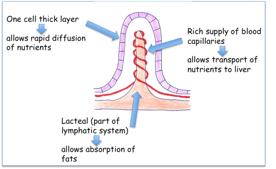 Small Intestine A Understanding For Igcse Biology 231 Pmg Biology