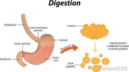 digestion-diagram-with-pepsin-note