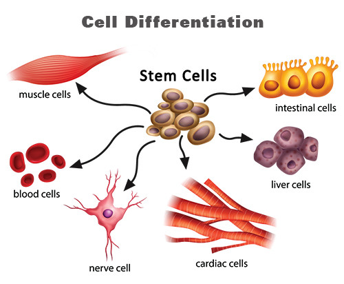 cell-differentiation
