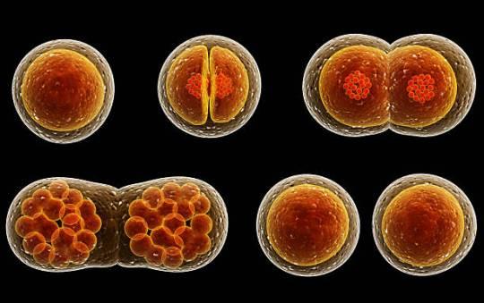 cell division.jpg