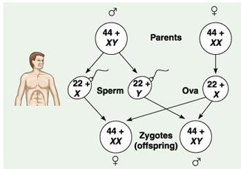 chromosomal-sex-determination-xx-xy-type
