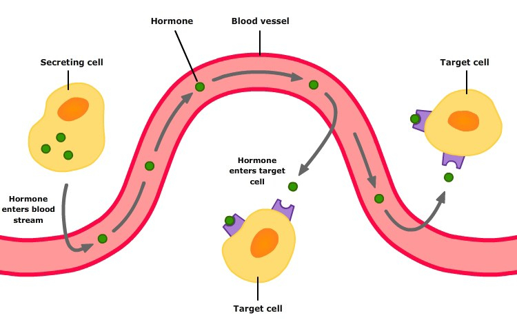 hormone-action20161028-31702-15pgq1t.jpg