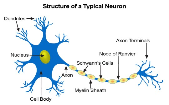 neuron-structure
